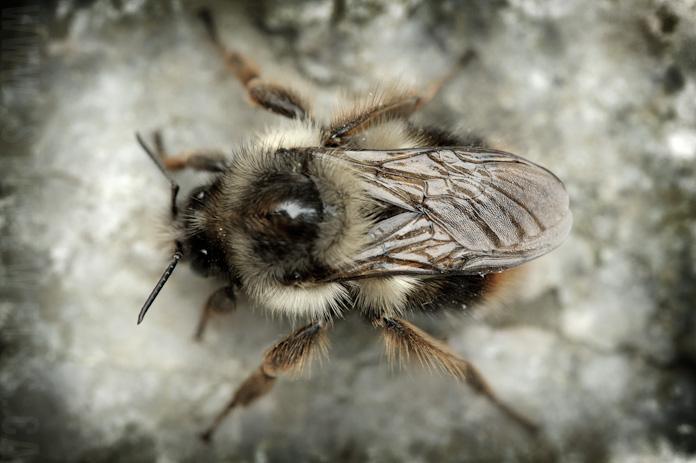 macro bee (2)
