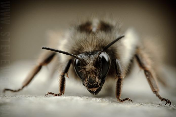 macro bee (9)