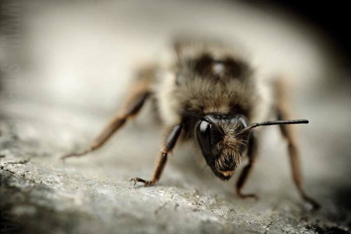 macro bee (3)