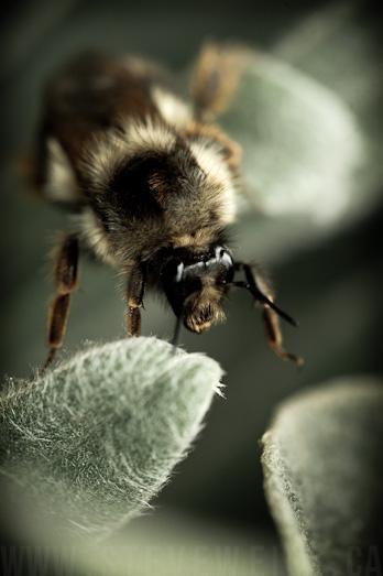 macro bee (7)