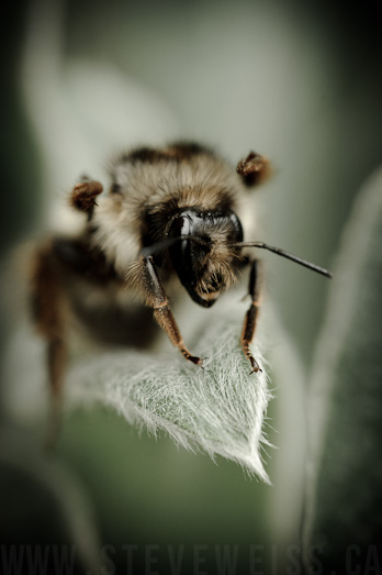 macro bee (8)
