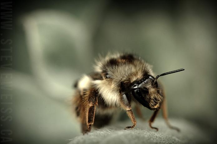 macro bee (10)