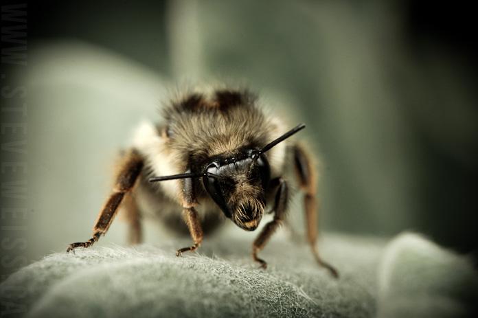 macro bee (1)