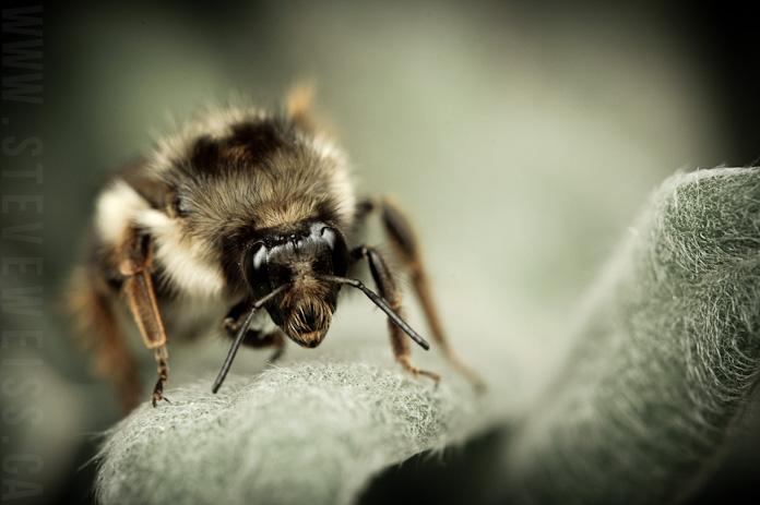 macro bee (6)